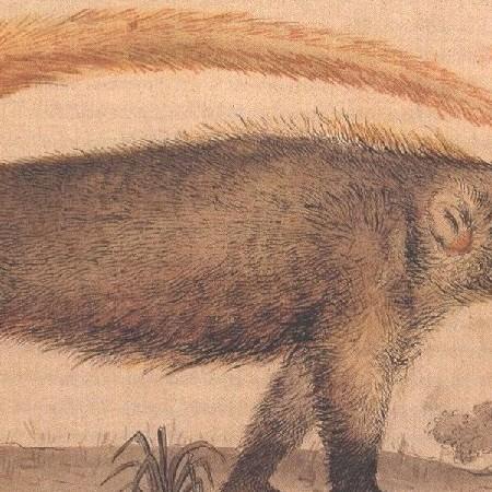 Procionido. Specie di orso chiamato Tejón (Nasua)