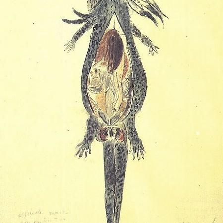 Anatomia di un ajolote maschio