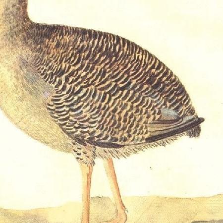 Tinamú l.s. Tinamiforme (Grypturellus sp.)