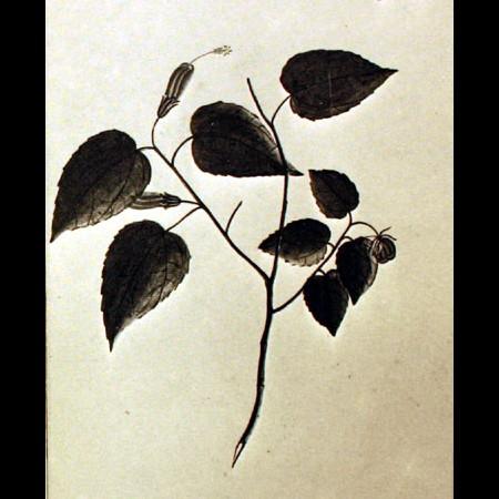 Malvaceae (Pavonia)