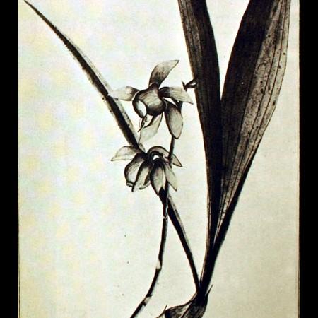 Orchideacea (Epidendium)