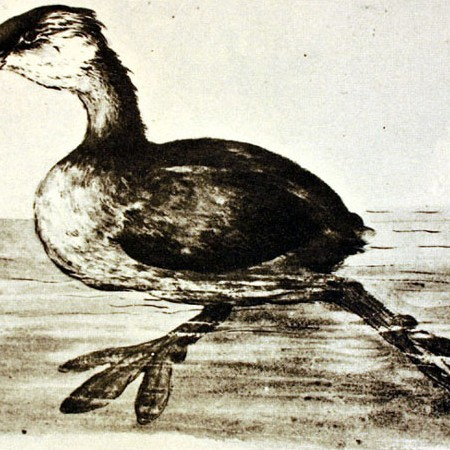 Smergo. Podicipediformes (Podilymbus podiceps?)