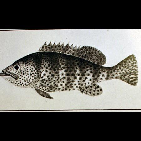 Liutiánido (Lutjanidae)