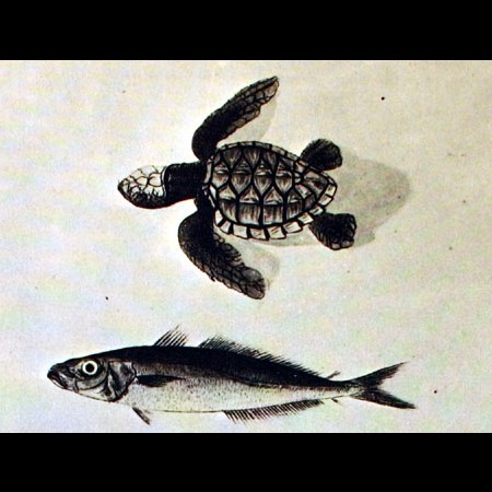 Tartaruga (Eretmochelys imbricata) e Carángido (Decapterus sp.)